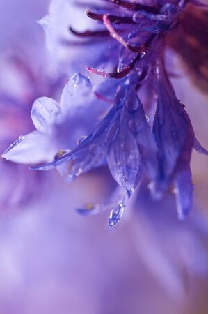 a drop of water drains from a cornflower petal Stock Photo