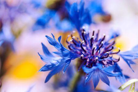 fresh cornflower background, close-up Stock Photo