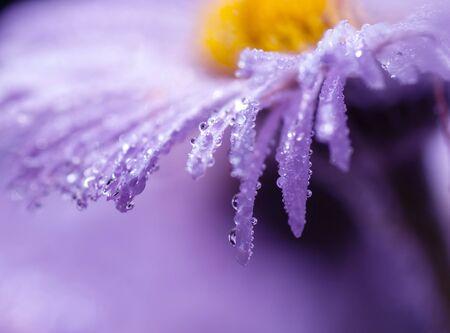 drops of water on purple daisy petals, macro shot Stock Photo