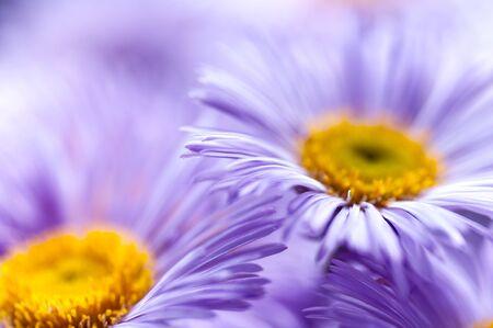 purple daisies, soft focus, close-up, spring background