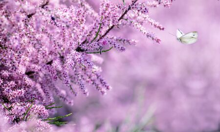 bush blooming with lilac flowers, butterfly flies on flowers, spring background