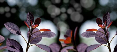 panorama of red leaves of a tree, young leaves in spring on a black background Stock Photo