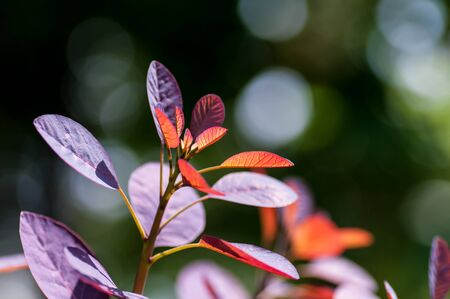 red bright leaves of a tree, young leaves in spring, backlighting, close-up
