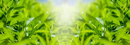 panorama of fresh green leaves of bushes in spring in the park, spring background Stock Photo