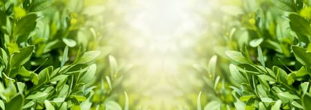 boxwood bushes with young leaves panorama, close-up, Stock Photo