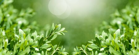 background panorama fresh, young boxwood leaves close-up, spring background, Stock Photo