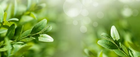 panorama fresh, young leaves of boxwood close-up, spring background,