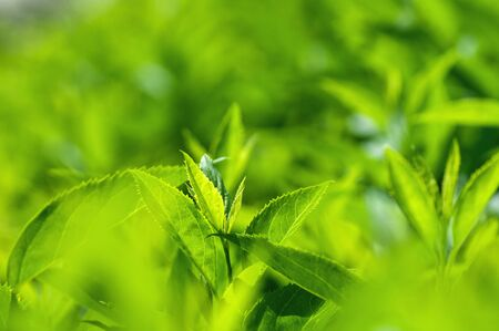 fresh green leaves of bushes in spring in the park, spring background Stock Photo