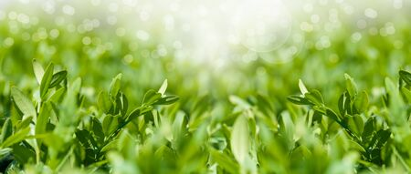 panorama fresh, young leaves of boxwood close-up, spring mood