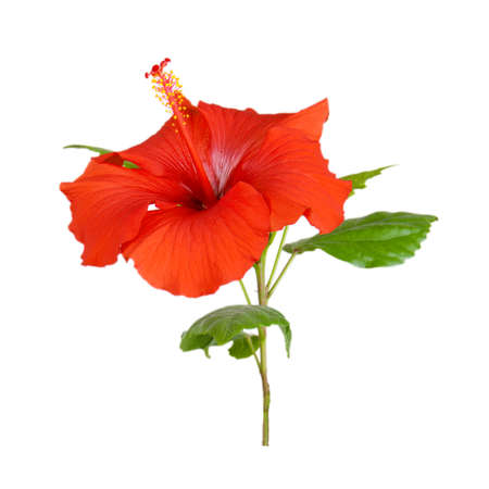 red hibiscus flower close-up studio shot isolated on white background