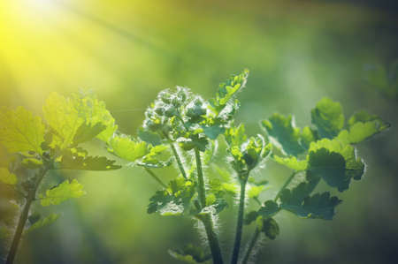 spring background, green plant fresh leaves in nature, backlight illuminates the villi on the plant