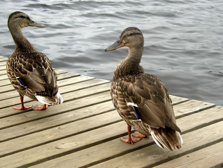 Two ducks on a wooden platform