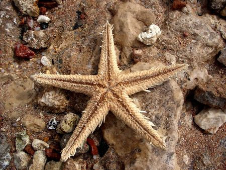 Sea star in Red Sea Standard-Bild