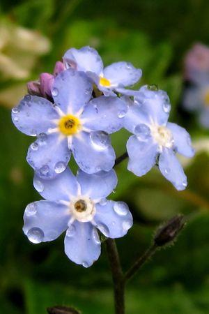 |pastel blue forget-me-not Standard-Bild