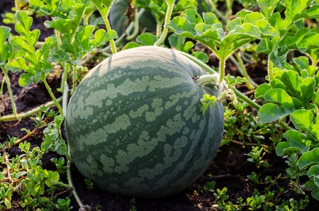 melon field: Watermelons on the green melon field in the summer