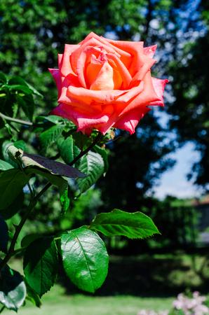 celebration: detail of red roses bush Stock Photo
