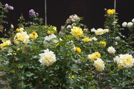 yelllow: yelllow roses in a park