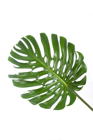 leaf of a big monstera in white background photo