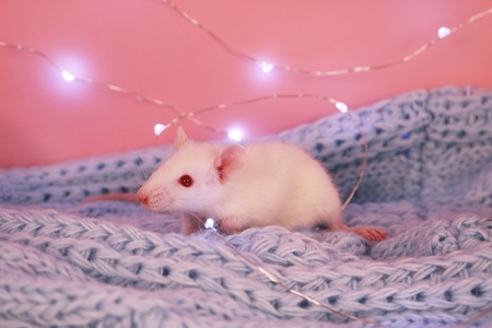 White rat on a blue knitted scarf with garland, symbol of the new year 2020