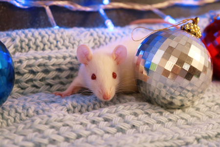 White rat on a blue knitted scarf,with christmas ball Reklamní fotografie
