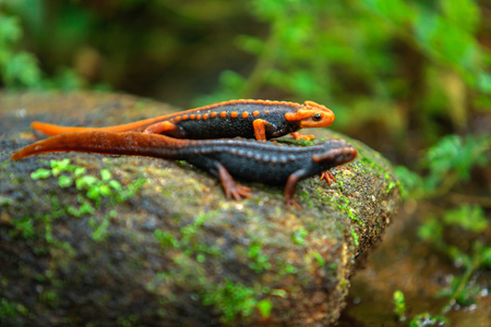 The crocodile salamander has been found on Doi Inthanon, the highest mountain in Thailand 스톡 콘텐츠