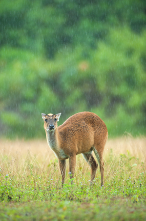 Baby Muntjac in the rain. World Heritage Site. Thailand. Stock Photo
