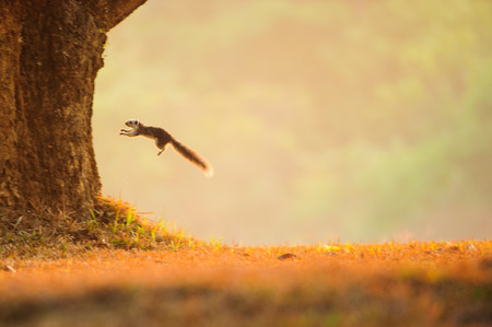 Variable squirrel jumping from a grassland to the tree. Golden light in summer time. Khao Yai National Park. World Heritage Site. blur motion. Stock Photo