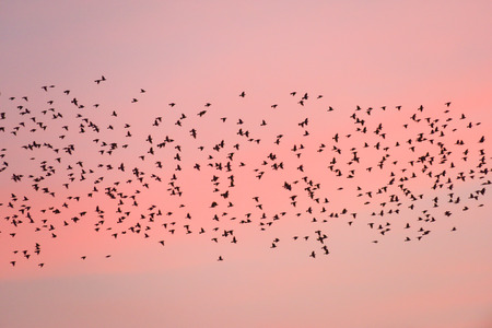 Bird migration at sunset. Silhouettes of Swiftlets on pink sky background. Nan Province Thailand. Slow shutter speeds. 免版税图像
