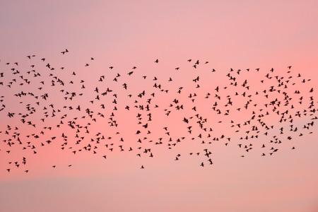 Migration des oiseaux au coucher du soleil. Silhouettes de Swiftlets sur fond de ciel rose. Province de Nan en Thaïlande. Vitesses d'obturation lentes. Banque d'images