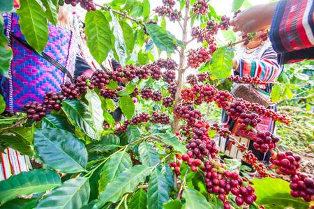 Tribe Akha farmer woman harvesting arabica coffee berries in the tree in organic farm. Akha village, Chiang Rai, northern region of Thailand. Close. Wide angle. Bright light. Summer season.