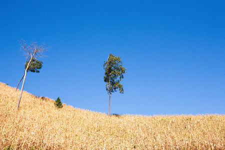 Northern Thailand, tropical forests are being cut and degraded for corn. Dry corn field on the mountain, blue sky in sun. Climate Change. Greenhouse Effect. Copy space.