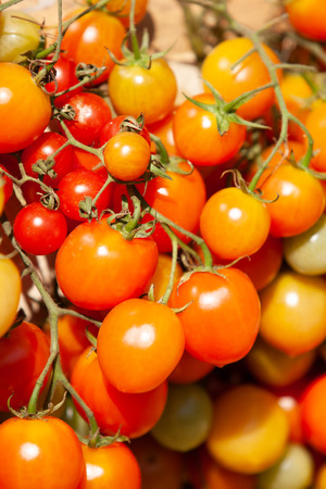 Colorful organic tomatoes are ripe in the branches. Organic tomatoes are produced form Chiang Mai Province, Northern Thailand. Bright sunlight. Background, Texture.