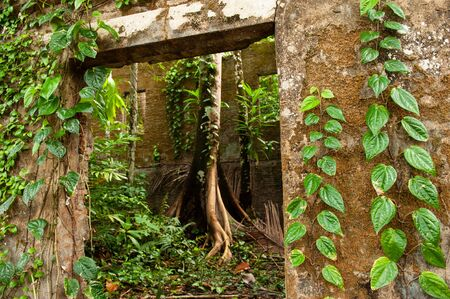 Ancient house covered with green ivy and tropical plant, moss, lichen, a big tree grown-up among the ruins of old house. Plantation at Koh Mak Island, Trat, Thailand. Soft sunlight. Background, Texture. 版權商用圖片