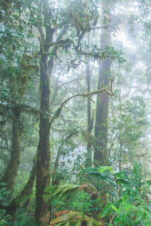 Ancient tropical forest in the mist. Fresh epiphyte, fern, moss, lichen in the tropical trees. Doi Pha Hom Pok, Thai-Myanmar border. Chiang Mai, Thailand. Rainy season. Background, Texture. Soft morning light.