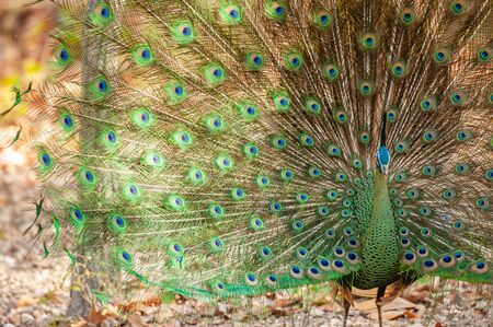 Fantastic Indo-Chinese Green Peafowl male in display, mating season. Colorful and beauty. Close. Northern Thailand. Winter season. Background, Texture. Bright sunlight. Stok Fotoğraf
