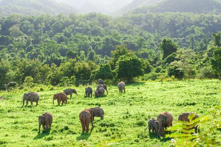 Aerial view landscape, A herd of Wild Asian Elephant in the grassland in rainy season. Green and lush evergreen forest, mountains backgrounds. Kui Buri National Park, Prachuap Khiri Khan, Thailand. Bright sunlight. Copy space. Stock Photo