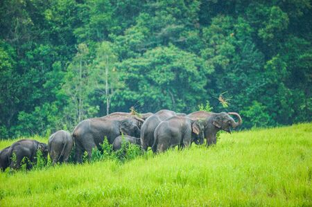 Happy Wild Elephant in nature, A herd of Wild Asian Elephant eating green grass and playing in the grassland in rainy. Lush evergreen forest backgrounds. Khao Yai National Park.
