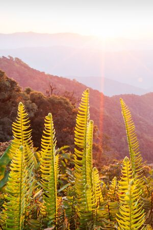 Beautiful time. Bright and colorful scenic landscape. Golden sunrise shines around the mountains and tropical forest, fresh fern foregrounds. Fantastic light in winter season. Doi Phu Kha National Park, Bo Kluea, Nan, Thailand. Warm tone. Beautiful lens flare.