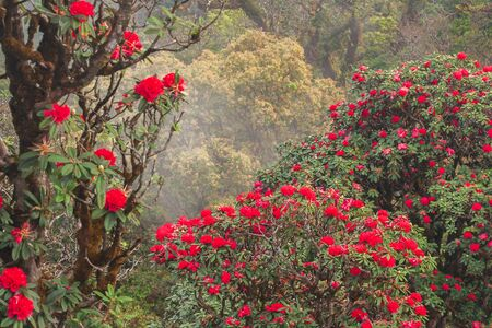 Bright scenic landscape with ancient Rhododendron red flower fresh blooming on morning light. Season specific. Mountains and clouds backgrounds. Winter. Doi Mon Chong Wildlife Sanctuary, Thailand.
