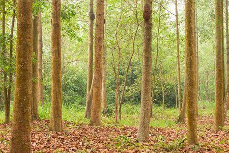 Yang, Gurjan or Garjan in Forestry Plantation.  Summer season. Thailand. Soft sunlight. Backgrounds, Texture. Selective focus.