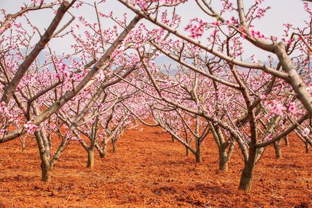 Red land and blooming Peach cherry in the branches of trees, pink flowers in full bloom. Spring blossom. Dongchuan, Kunming Province, China. Soft sunlight. Backgrounds, Texture. Copy space. Фото со стока