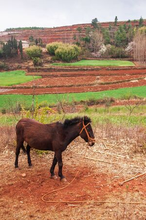 Scenic rural south Yunnan, China, local brown horse standing on the Red Land of Dongchuan, vegetable garden, wheat field and ancient village backgrounds. Soft sunlight. Spring season. Culture, Horse.