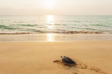 Green Sea Turtle on the tropical beach at sunset, heading for the ocean for the first time. Golden sun setting and coastline backgrounds. Khao Lampi-Hat Thai Mueang National Park, Phang Nga, Thailand. Summer season. Foto de archivo - 131362627