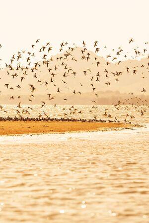 Shorebirds migration at sunset, flocks of shorebirds flying over sandy in the sea, beautiful glittering seawater. Warm tone. Winter season. Libong Island, Trang Province, Thailand.