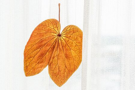 Abstract transparent Gold Leaf with beautiful texture on white curtain background. The Gold Leaf (Bauhinia aureifolia) or Yan Da O is a rare vine, native distribution in South Thailand. Natural gold color leaf. Bright sunlight. Close.