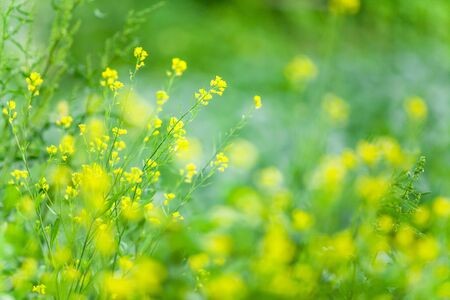 Spring field of blooming yellow flowers. Wild yellow flowers are in bloom, blurred green field background. Good inspire in morning. Selective focus.