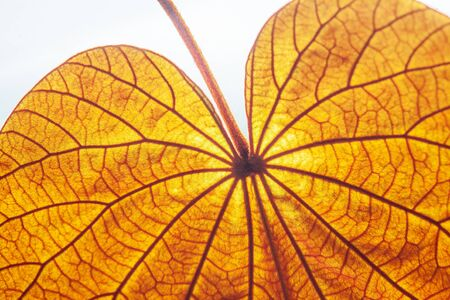 Abstract transparent Gold Leaf with beautiful texture on white background. The Gold Leaf (Bauhinia aureifolia) or Yan Da O is a rare vine, native distribution in South Thailand. Natural gold color leaf. Bright sunlight. Close up. Banco de Imagens