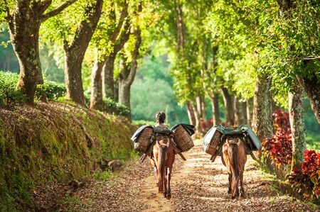 A yunnanese young man with two brown horses carrying tea leaves in wicker baskets on a pathway of tea plantations. Doi Mae Salong, Chiang Rai, Thailand. Selective focus.