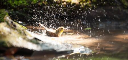 Happy a little Puff-throated Bulbul enjoying bathing in freshwater in the well, bright and beautiful of splashing in sunlight. Phu Khieo Wildlife Sanctuary, Thailand. Motion blur. Foto de archivo