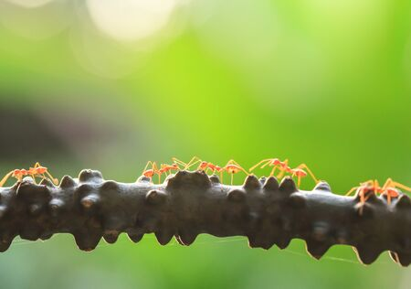 A colony of Green Ants having a conversation in a vine, bright transparent of ants, bokeh and natural green blur background. Selective focus. Social concept.